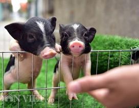 Ngắm lợn mini tiền triệu giới trẻ Hà thành săn lùng làm thú cưng