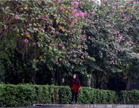Hoa ban nở khắp phố Hà Nội
