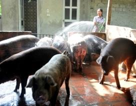 Ninh Bình tạm thời khống chế được dịch tả lợn châu Phi