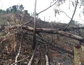 Phó Chủ tịch xã phá rừng để trồng keo
