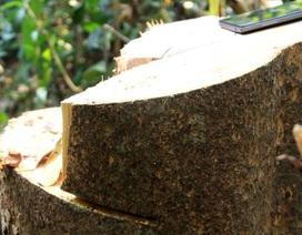 Chặt hạ nhiều cây rừng trăm năm tuổi để… làm đũa (!?)