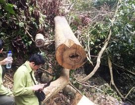 """Rừng """"ứa máu"""" trong khu bảo tồn thiên nhiên ở Hòa Bình"""
