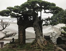 Cây sanh ở Hưng Yên được trả cả trăm nghìn đô, chủ nhân quyết không bán