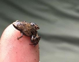 Phát hiện 3 chi ếch tí hon mới ở Madagascar