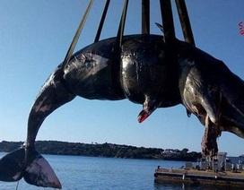 Cá nhà táng mang thai được phát hiện đã chết với gần 23 kg nhựa trong dạ dày