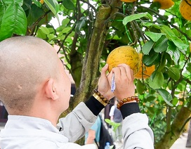 Cây bưởi trong ngôi chùa cổ nhất Hà Nội bị vẽ bậy chằng chịt lên quả