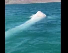 Phát hiện cá voi trắng quý hiếm ngoài khơi bờ biển Mexico