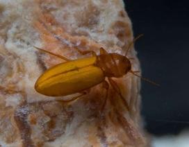 Những con bọ cánh cứng sống trong môi trường kì lạ nhất trên Trái Đất
