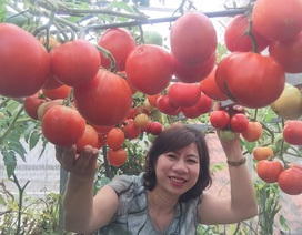 Trồng 8 gốc cà chua trên sân thượng, mẹ đảm Hà Nội thu 30kg/vụ