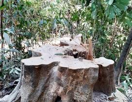 Khởi tố vụ phá rừng phòng hộ để… làm đũa