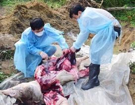 Xuất hiện thêm ổ dịch tả lợn mới ở Thừa Thiên Huế