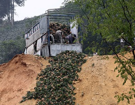 Trung Quốc đột nhiên cắt cầu: Thảm cảnh đổ bỏ cả xe tải dứa cho bò ăn