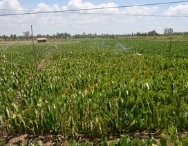 Sóc Trăng: Giảm trồng mía, người dân tạo thu nhập từ cây trồng khác