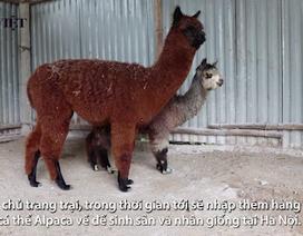 Lạc đà không bướu nhập từ Hà Lan giá 80 triệu đồng để... nhân giống