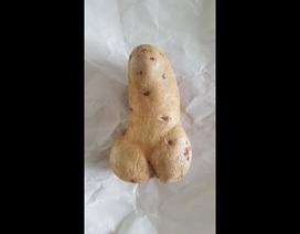 """Củ khoai tây lớn có hình """"của quý"""" được gửi tới bảo tàng trưng bày"""