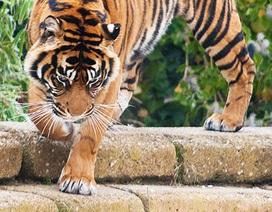 """Hổ Sumatra quý hiếm suýt thành """"sát thủ"""""""