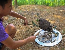 Săn trứng kiến làm món ăn đặc sản ở ngoại thành Hà Nội
