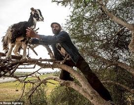 """""""Vạch trần"""" sự thật gây sốc về đàn dê biết leo cây thoăn thoắt như khỉ"""