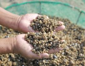 Ốc hương chết hàng loạt, người nông dân lao đao
