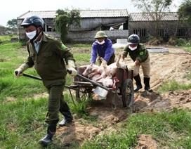 """Dịch tả lợn Châu phi lan rộng, tỉnh Ninh Bình """"căng mình"""" phòng chống"""