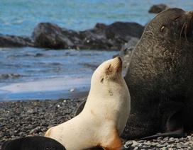 """Phát hiện nhiều chim cánh cụt và hải cẩu """"nửa bạch tạng"""" cực quý hiếm"""