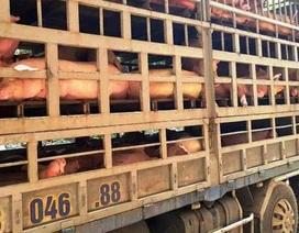 Phát hiện hàng trăm con lợn được làm giả giấy tờ kiểm dịch