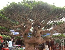 Tuyệt phẩm cây cảnh cứ đụng vào là tỏa hương, giá bán tới 2 tỷ đồng