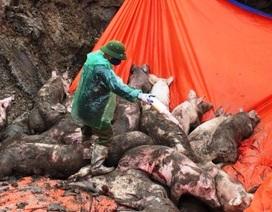 Ngăn chặn kịp thời xe tải chở 8 tấn lợn nhiễm dịch tả đi tiêu thụ