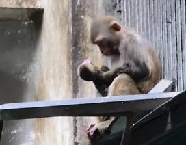 Clip khỉ mẹ không rời xa khỉ con yểu mệnh khiến cộng đồng mạng xúc động