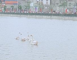 Người dân Hải Phòng đổ xô đi ngắm đàn thiên nga trên sông Tam Bạc