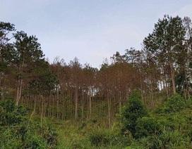 Hơn 10ha rừng thông bị đầu độc, không thể cứu chữa