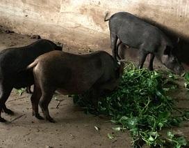 Dịch tả lợn châu Phi lan đến Bình Phước