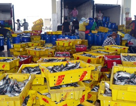 Phú Yên: Ngư dân trúng đậm cá nục, cá ồ thu lãi hàng trăm triệu đồng