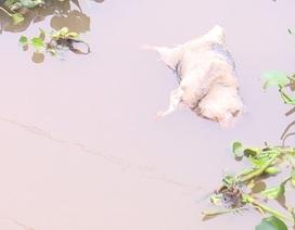 Đề nghị Bộ Công an điều tra, xử lý tình trạng vứt lợn bệnh ra môi trường