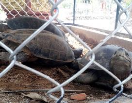 Phát hiện 3 cá thể rùa thuộc nhóm nguy cấp trong quán cà phê