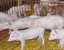 """Tăng cường kiểm tra để ngăn chặn lợn không rõ nguồn gốc """"chui"""" vào địa bàn"""