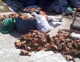 Trại gà bị tấn công trong đêm khiến hơn 1.200 con gà bị chết