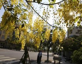 Muồng hoàng yến nở vàng rực đường phố Hà Nội