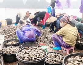 Quảng Ninh: Làm giàu từ nghề nuôi ngao giá