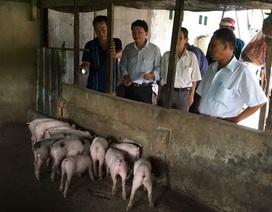 Thêm hai tỉnh ở miền Tây xuất hiện dịch tả lợn Châu Phi