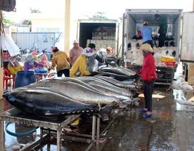Phú Yên: Ngư dân thu hàng trăm triệu đồng từ cá ngừ đại dương