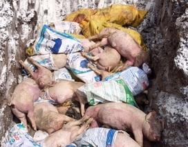 Bệnh dịch tả lợn Châu Phi lan đến Sóc Trăng