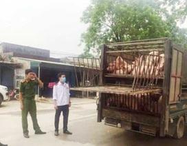 Bắt giữ xe chở 60 con lợn có biểu hiện ốm yếu từ vùng dịch tả lợn châu Phi