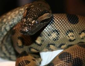 Kì lạ khả năng tự sinh con của trăn Anaconda cái không cần trăn đực