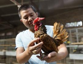 """""""Choáng"""" với 5 giống gà quý tộc, giá ngàn đô của đại gia Việt"""