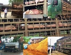 Hàng trăm con lợn có dấu hiệu lâm sàng của dịch tả lợn châu Phi được chở đi tiêu thụ