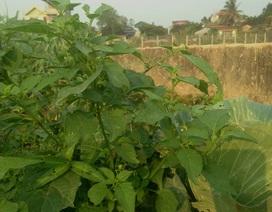 Chuyện lạ Thủ đô, rau dại mọc hoang, dân đem về trồng thay lúa