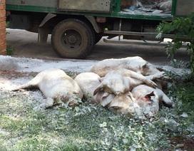 Dân phản ứng khi lợn nhiễm dịch tả châu Phi từ nơi khác mang về thôn tiêu hủy