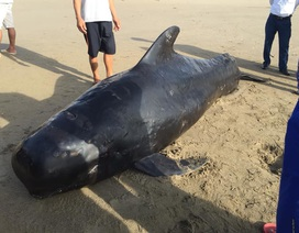 Xác cá voi nặng 1 tấn dạt vào biển Hà Tĩnh