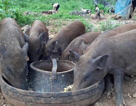 """Đề nghị bỏ quy định: Nuôi lợn không được cho ăn """"cây chuối, bèo tây"""""""